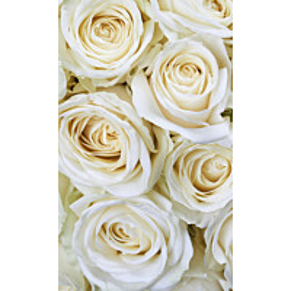 Kuvatapetti Dimex  White Roses 150 x 250 cm