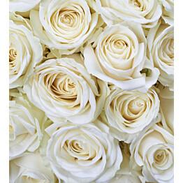 Kuvatapetti Dimex  White Roses 225 x 250 cm
