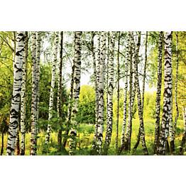 Kuvatapetti Dimex  Birch Forest 375 x 250 cm