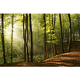Kuvatapetti Dimex  Forest  375 x 250 cm