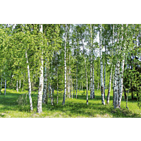 Kuvatapetti Dimex  Birch Grow 375 x 250 cm