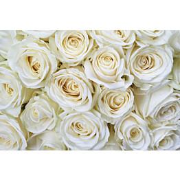 Kuvatapetti Dimex  White Roses 375 x 250 cm