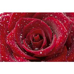 Kuvatapetti Dimex  Red Rose 375 x 250 cm
