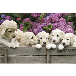 Kuvatapetti Dimex  Labrador Puppies 375 x 250 cm