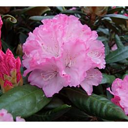 Alppiruusu Rhododendron Maisematukku Royal Rosy 25-30