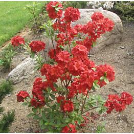Atsalea Rhododendron Maisematukku Nabucco 30-40