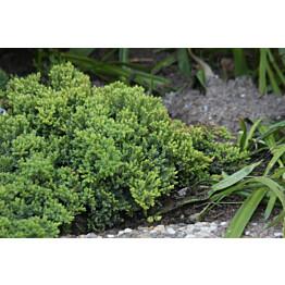 Harokataja Juniperus procumbens Maisematukku Nana 30-40