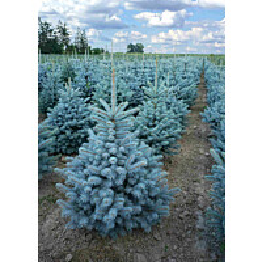Hopeakuusi Picea pung. Maisematukku Super Blue Seedling 60-80