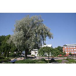 Hopeasalava Salix alba var. Sericea Maisematukku Sibirica