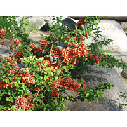 Japaninruusukvitteni Chaenomeles japonica Maisematukku