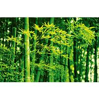 Juliste Giant Art 00670 Bamboo in Spring 175x115 cm
