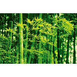 Juliste Giant Art 00670 Bamboo in Spring 175x115 cm