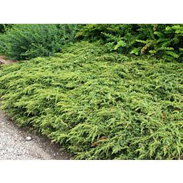Kääpiökataja Juniperus communis Maisematukku Repanda 30-40