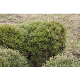 Kääpiövuorimänty Pinus mugo var. Pumilio Maisematukku 25-30