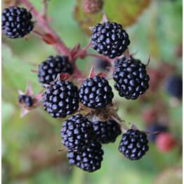 Karhunvatukka Rubus fruticosus Maisematukku Siperialainen Karhunvatukka