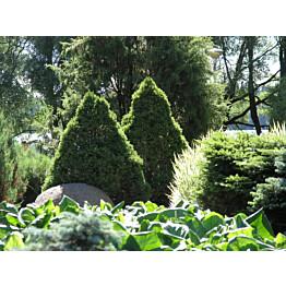 Kartiovalkokuusi Picea glauca Maisematukku Conica 40-50