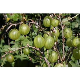 Karviainen Ribes Maisematukku Hinnonmäen Keltainen