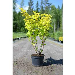Keltaheisiangervo Physocarpus opulifolius Maisematukku Darts Gold