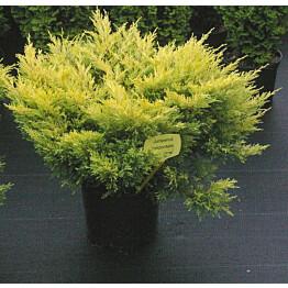 Keltalaakakataja Juniperus hor. Maisematukku Lime Glow 25-30