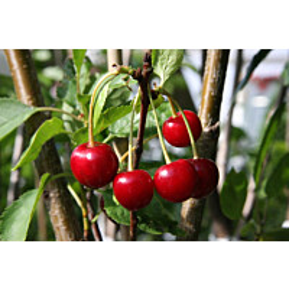 Kirsikka Prunus cerasus Maisematukku Sikkolan Kirsikka