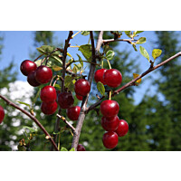 Kirsikka Prunus cerasus Maisematukku Varjomorelli