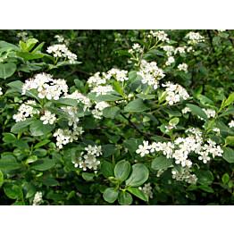 Koristearonia Aronia x prunifolia Maisematukku