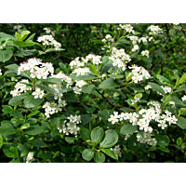Koristearonia Aronia x prunifolia Maisematukku aitataimi