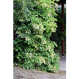 Köynnöshortensia Hydrangea anomala ssp. Petiolaris Maisematukku 40-50