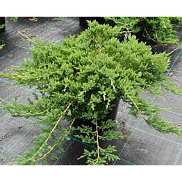 Laajakataja Juniperus hor. Maisematukku Prince of Wales 30-40