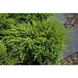 Laakakataja Juniperus h. Maisematukku Andorra Compact 30-40