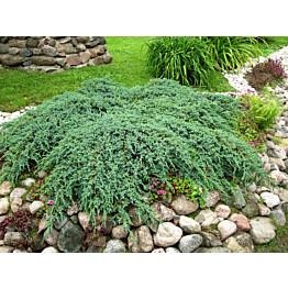 Lamosinikataja Juniperus sq. Maisematukku Blue Carpet 30-40