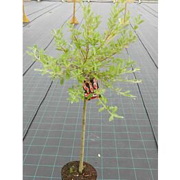 Mirripaju Salix gracilistyla Maisematukku MT Aso 120