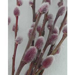 Musta mirripaju Salix gracilistyla Maisematukku MT Aso