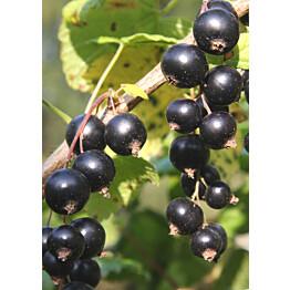 Mustaherukka Ribes nigrum Maisematukku Marski
