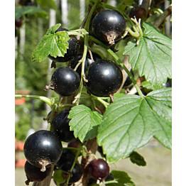 Mustaherukka Ribes nigrum Maisematukku Mikael