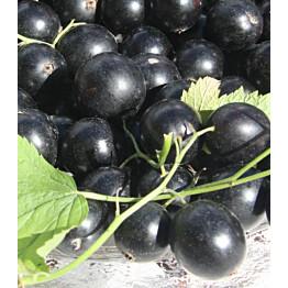 Mustaherukka Ribes nigrum Maisematukku Pohjan Jätti