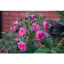Neilikkaruusu Rosa Maisematukku Pink Grootendorst