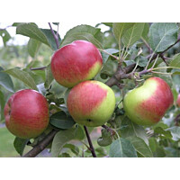 Omenapuu Malus domestica Maisematukku Jaspi