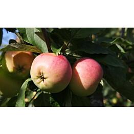 Omenapuu Malus domestica Maisematukku Keltakaneli hillittykasvuinen