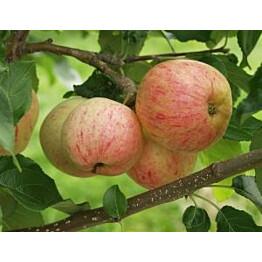 Omenapuu Malus domestica Maisematukku Moskovan Päärynäomena