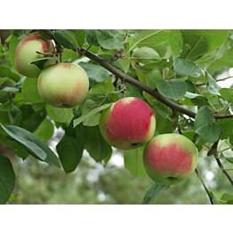 Omenapuu Malus domestica Maisematukku Punainen Melba