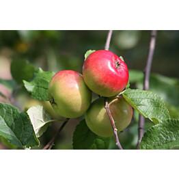Omenapuu Malus domestica Maisematukku Punakaneli