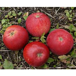 Omenapuu Malus domestica Maisematukku Punaposki hillittykasvuinen