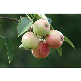 Omenapuu Malus domestica Maisematukku Sokerimiron
