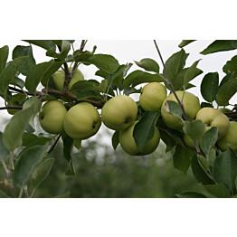 Omenapuu Malus domestica Maisematukku Valkeakuulas
