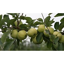Omenapuu Malus domestica Maisematukku Valkeakuulas hillittykasvuinen