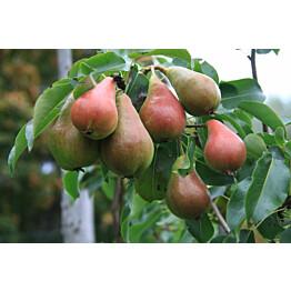 Päärynä Pyrus communis Maisematukku Pepi