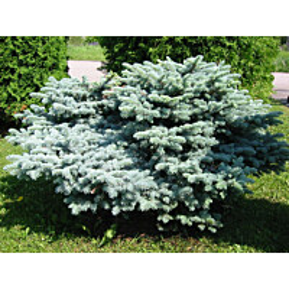 Pallohopeakuusi Picea pung. Maisematukku Glauca Globosa 30-40