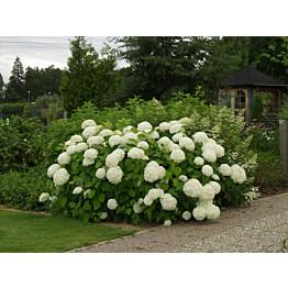 Pallohortensia Hydrangea arborescens Maisematukku Annabelle