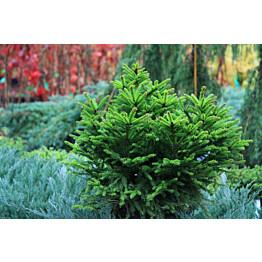 Pallokuusi Picea abies Maisematukku Ohlendorffii 40-50